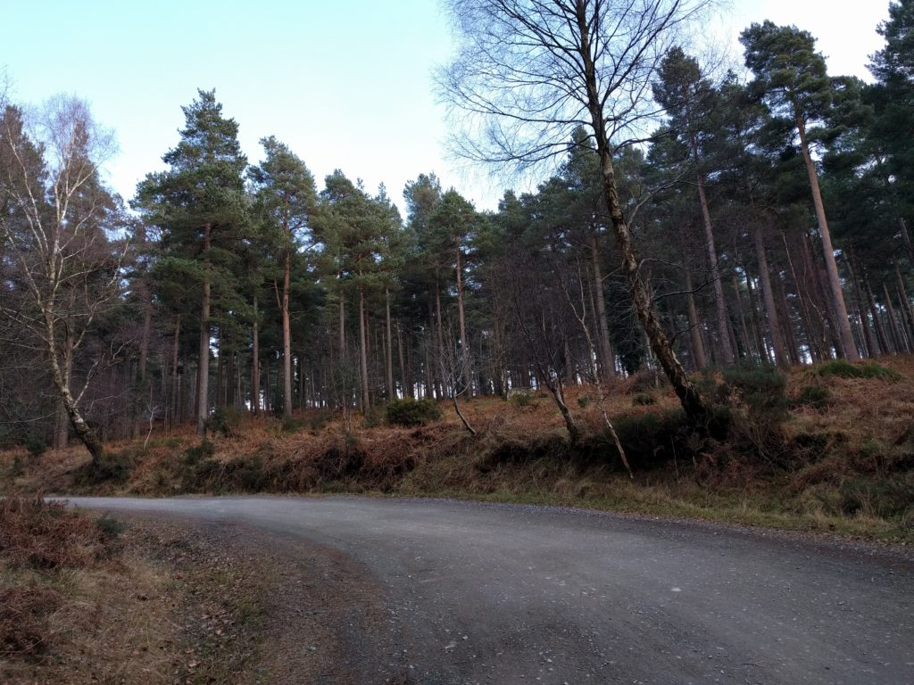 Road winding into a pine forest